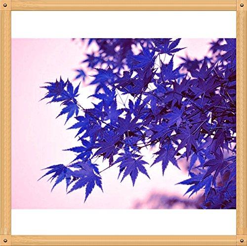 10PC Rare Seed Aqua Blue Maple. La couleur de nouvelles variétés de plantes cultivés naturellement Bonsaï formé naturellement