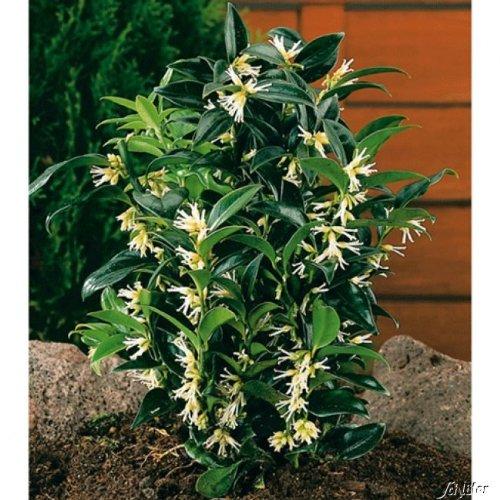 Duft-Fleischbeere -Sarcococca humilis- Kübel-Pflanze immergrün schwarze Früchte weiße Blüten duftend Schatten-Blume - Winterpflanzen von Garten Schlüter - Pflanzen in Top Qualität