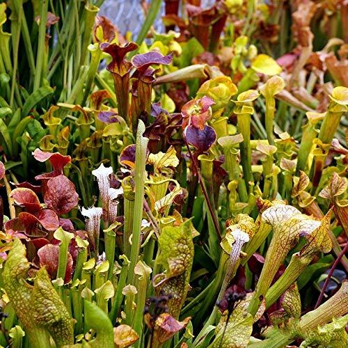 TENGGO Egrow 10 Stück/Packung Fleischfressende Samen Trompetenform Sarracenia Flower Bonsai für Hausgartenpflanze
