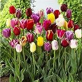 Tulpen Zwiebeln,Zimmerpflanzensamen,Seltene Spezies,Dich GlüCklich Machen,Viele Farben,Einfach Zu ZüChten,Zierpflanzen-30 Zwiebeln,Mischen