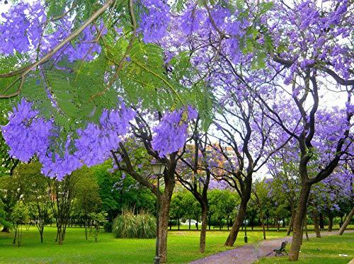 Jacaranda Mimosifolia, Blue Rare Flowering Tree Flamboyan Delonix Seed jocad (10 Seeds)