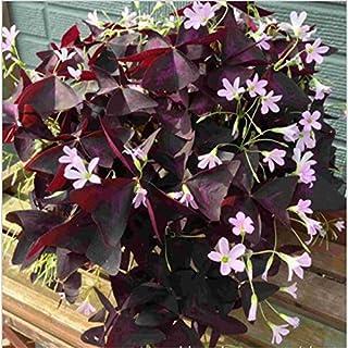 Jardín Semillas de trébol Semilla Inicio interior fáciles de plantar flores Cuatro - amante de la hoja de la hierba de San...