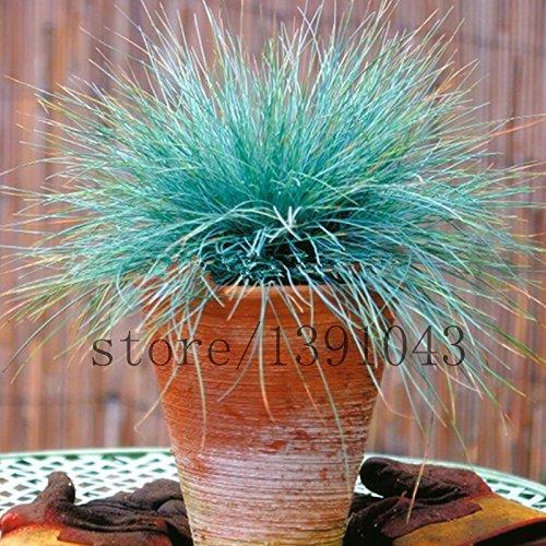 100 Bleu fétuque Seeds - (Festuca glauca) vivace herbe ornementale si facile à pousser de l'herbe pour la maison jardin