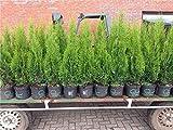 Edel Thuja Smaragd immergrüner Lebensbaum Heckenpflanze Zypresse im Topf gewachsen 100-120cm (10...