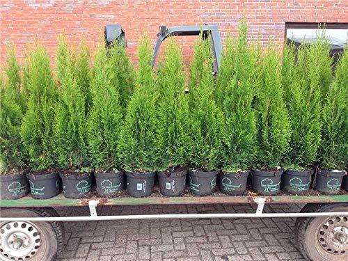 Edel Thuja Smaragd immergrüner Lebensbaum Heckenpflanze Zypresse im Topf gewachsen 100-120cm (1 Stück)