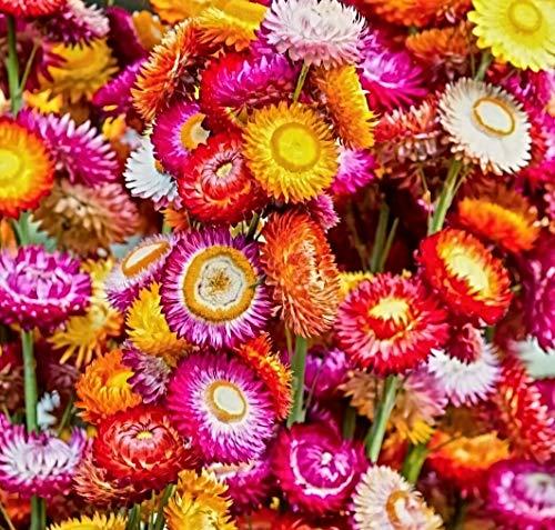 500 Samen Zwerg Strohblume