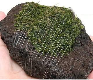 (水草)巻きたて ジャイアント南米ウィローモス 富士ノ溶岩石 Mサイズ(約10~12cm)(無農薬)(1個) 本州・四国限定[生体]