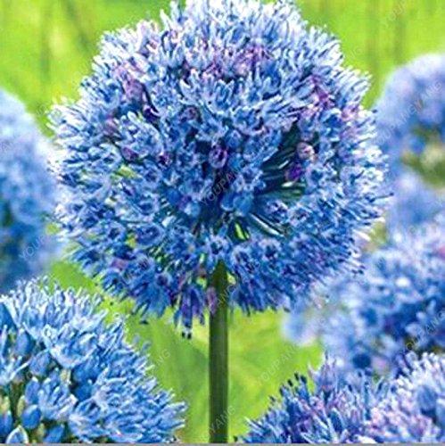 30pcs/sac géant oignon (Allium giganteum) graine rare bonsaï belle fleur plantes en pot de fleurs jardin Livraison gratuite Noir