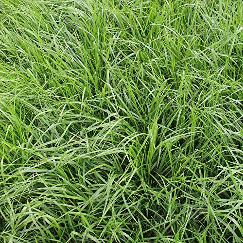 Rohrschwingel(Festuca Arundinacea)22,68 kg Einzelgras Graines D'Herbe