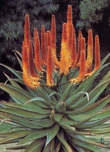 Tropica - Sukkulenten - Feuer Aloe (Aloe ferox) - 20 Samen