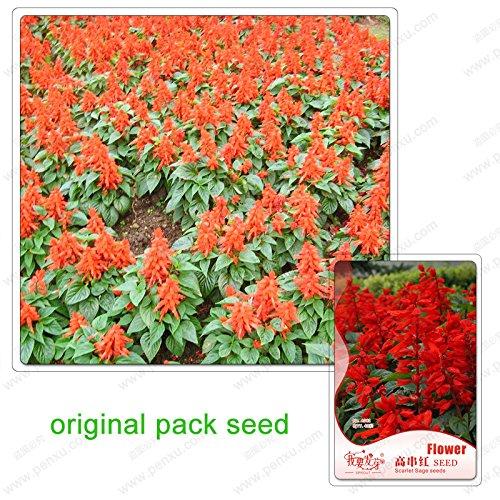 40 graines/paquet, haute chaîne rouge, graines de sauge écarlate, bonsaïs fleur Balcon, graines de plantes en pot balcon
