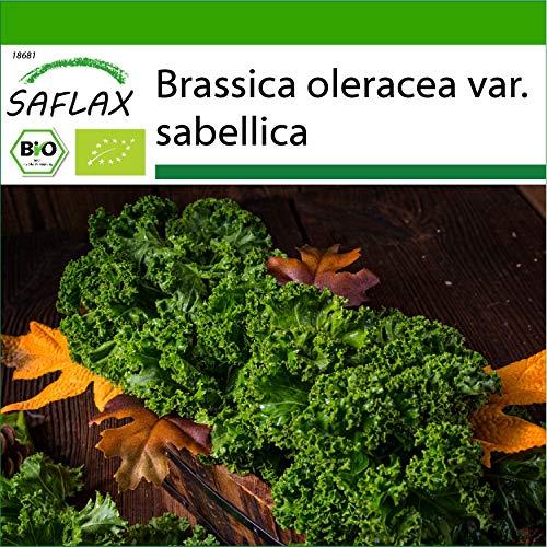 SAFLAX - BIO - Chou frisé vert - Westland Winter - 70 graines - Avec substrat de culture aseptique - Brassica oleracea