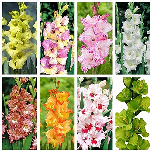 Flores reverdecimiento ambientales,Flores que atraen mariposas y abejas,Plantas de decoración del hogar,Bulbo de gladiolo,Ideal para flores cortadas-5 Bulbos