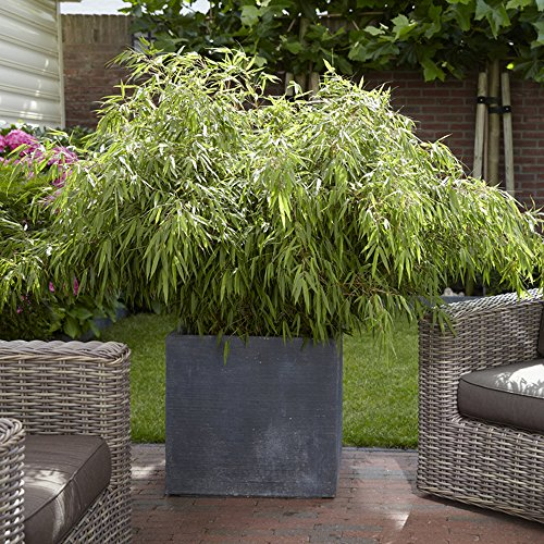 YouGarden Fargesia Fountain Bamboos plants (Pair)