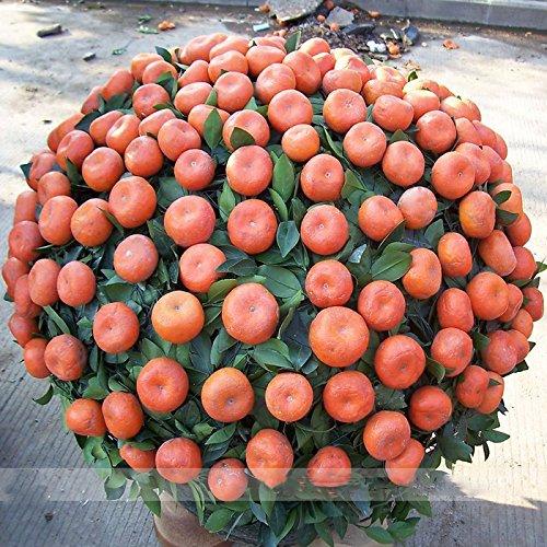 (Orange * Ambizu *) Petit pot comestible orange Bonsai Graines bio, Paquet professionnel, 20 graines