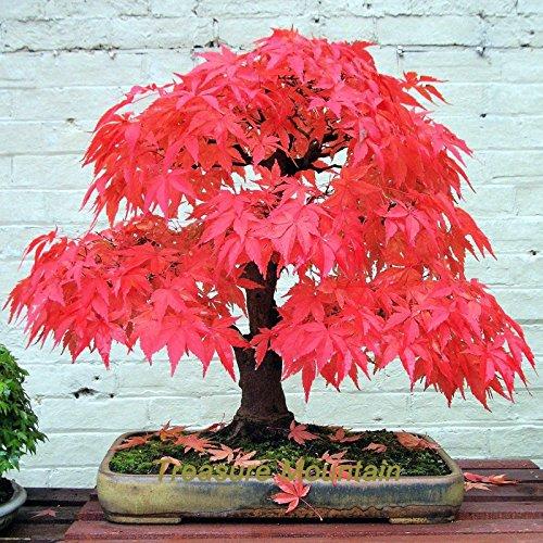 1 Paquet professionnel, 60 graines / Pack, rares Red Graines de Maple japonaise Acer (Palmatum atropurpureum) Bonsai Graines # NF196