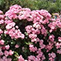 100Pcs Perfume Rock Cress Seeds Climbing Plants Colorful Flower - Non-GMO Aubrieta Hybria Seeds by Seed Needs for Home Garden
