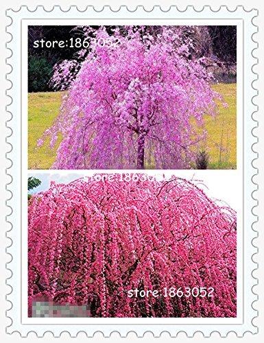 Livraison gratuite 10 Graines Fontaine Rose Weeping Cerisier bricolage jardin arbre nain Graines vivaces