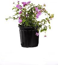 """AMERICAN PLANT EXCHANGE Lavender Lantana 1 Gallon Live Plant, 6"""" Pot, Purple Flowers"""