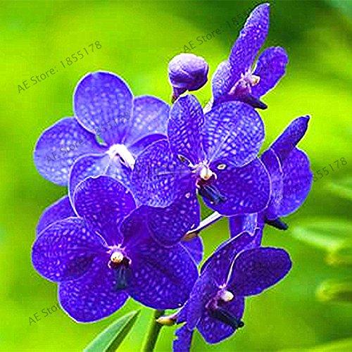 50pcs/sac Violet Jardinerie Plantes Violet Fleurs vivaces herbes Matthiola Incana semences pour la maison et le jardin 2