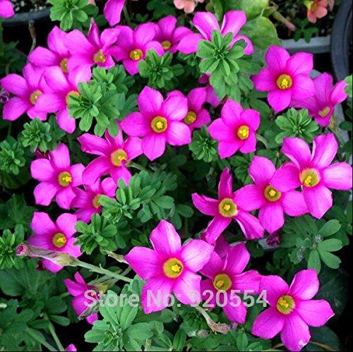 Ampoules importées, 2pcs/lot de petites ampoules violet Oxalis graine stenorrhyncha belle plante bonsaï fleur bricolage jardin maison # O323