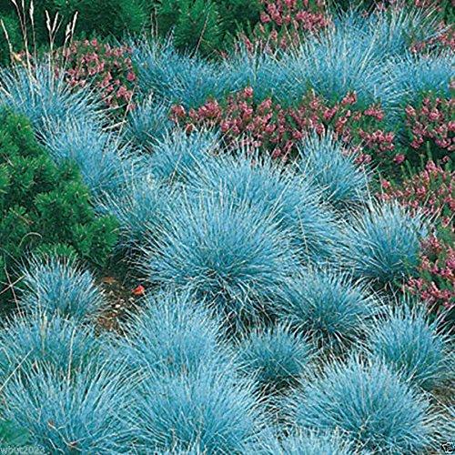 300 BLUE FESCUE,Ornamental Grass Seeds - Festuca glauca - Perennial