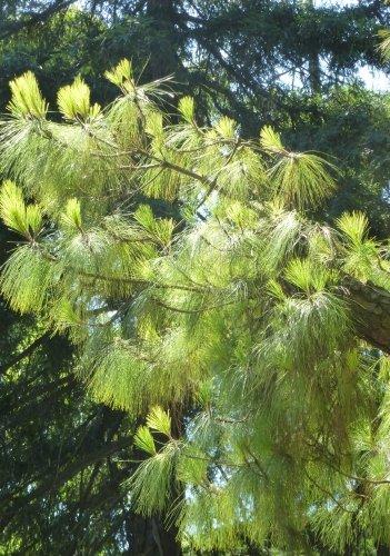 TROPICA - Kanarische Kiefer (Pinus canariensis) - 15 Samen