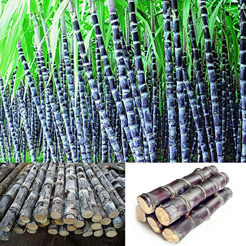 Zhouba Zuckerrohr-Samen für Gartenpflanze, 100 Stück Zuckerrohr-Samen, leckere, saftige Früchte, für Zuhause, Garten, Hof, Bauernhof, Pflanzen-Dekoration