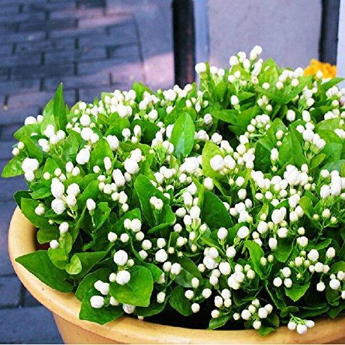 20 pcs Fleur de Jasmin Jasminum Sambac Graines