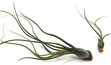 Large Butzii Air Plants 5 to 8 Inches - Live Succulent House Plants - Available in Wholesale and Bulk - Home and Garden Decor