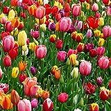 Tulipan Bulbos,Planta Rara,Los Tulipanes Son Gran Valor,Bulbos Tulipán-60 Bulbos