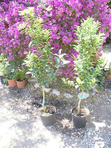 Citrus Kumquat, Miniorangenbaum, Kumquatbaum, Kumquat Pflanze