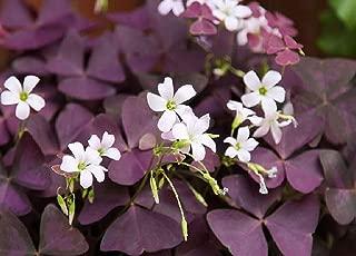 Best purple wood sorrel Reviews