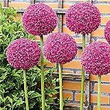 PANGUN 100個のPcsガーデンアウトドアジャイアントアリウムギガンテウム美しい花の種子盆栽植物種子-3