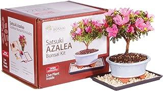 Brussel's Live Satsuki Azalea Outdoor Bonsai Tree Kit - 4 Years Old; 6
