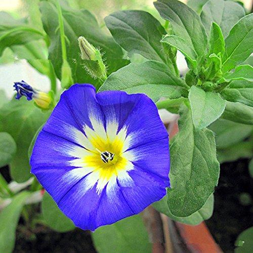 10 graines / Paquet Tricolor liseron graines Rare Belles fleurs Maison et jardin des plantes de couleur spéciale Facile à planter Livraison gratuite