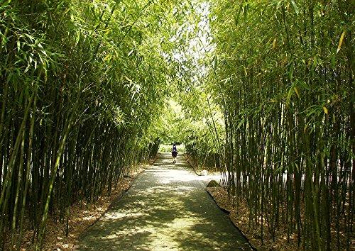 Bambou Géant/env. 50 graines/pare-vent/tropicaux Flair à la maison