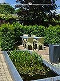 Gardline - Portugiesischer Kirschlorbeer 50-60 cm. Angebot: 150 Heckenpflanzen. Prunus lusitanica Angustifolia: winterhart, immergrün und blühend. Diese Kirschlorbeer Hecke kaufen