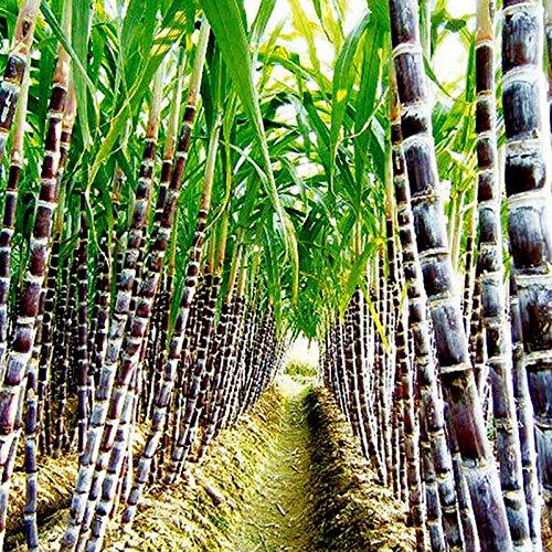 Benoon Zuckerrohrsamen, 100 Stück/Beutel Zuckerrohrsamen Sukkulenten Essbar Hoher Zuckergehalt Lecker Zuckerrohrsamen Für Die Landwirtschaft Zuckerrohrsamen