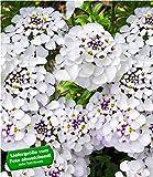BALDUR-Garten BALDUR-GartenIberis Masterpiece 9 Pflanzen Schleifenblume weiß winterhart