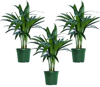 Best areca palm air purifier Reviews
