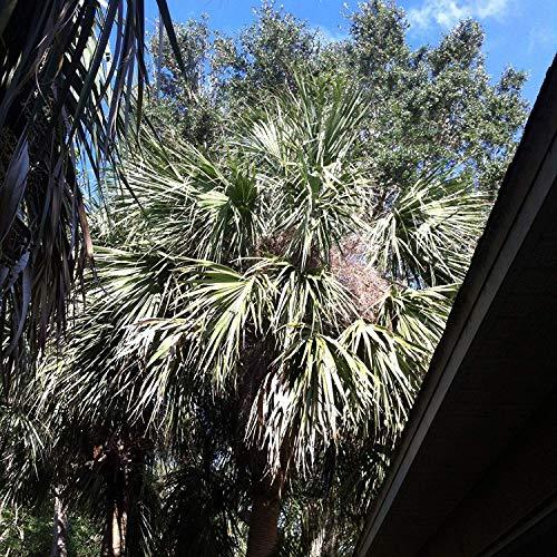 Germination Les graines: 50 graines: Sabal Palmetto Palm Chou Palm 10 graines Minimum