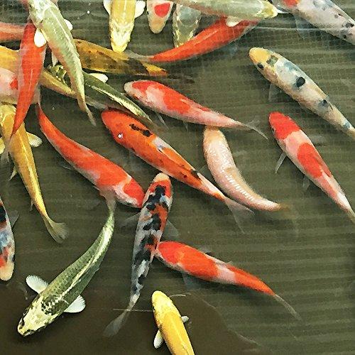 【生体】 錦鯉MIX 10匹 サイズSS 約7cm~10cm前後