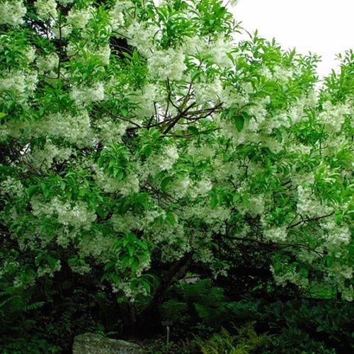 vegherb Weiß Fringe Baum, Chionanthus virginicus, 30 Samen (Auffälliges, duftend, Fall-Farbe)