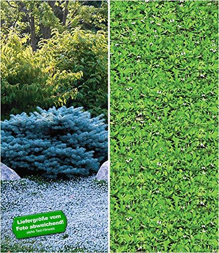BALDUR Garten Winterharte-Bodendecker-Kollektion, 7 Pflanzen Isotoma Blue Foot® 3 Pflanzen und Lippia Summer Pearls 4 Pflanzen