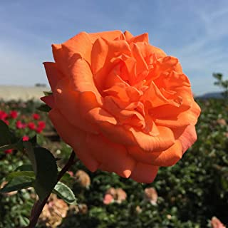 Own-Root One Gallon Bright Fire Climbing Rose by Heirloom Roses