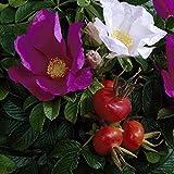 Heckenrose Rosa rugosa, Kartoffel-Rose, Apfel-Rose, Hagebutte, rosablühend mit großen fleischigen Hagebutten, 1 Pflanze im 2 Liter Topf - zu dem Artikel bekommen Sie gratis ein Paar Handschuhe für die Gartenarbeit dazu