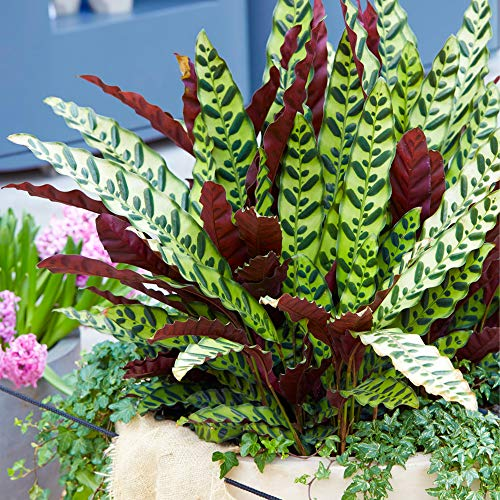 Rattlesnake Plant for Home or Office | 40-50cm Potted Indoor Houseplant
