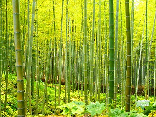 50pcs/sac frais Moso bambou Graines géant Moso arbre bambou Graines pour le bricolage jardin plante
