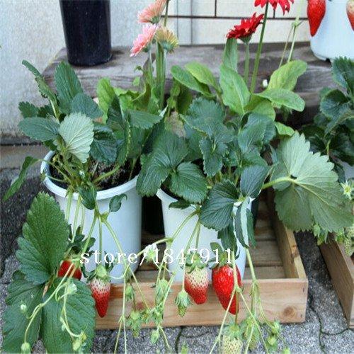 Big vente original Paquet 500 graines / Pack, Strawberry Fruit maïs, Beau maïs fraise fruit, la plantation est simple
